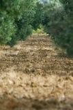 Olive Grove - Perspectief royalty-vrije stock foto's