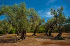 A olive grove. Stock Photography