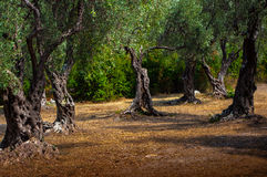 A olive grove. Royalty Free Stock Photo