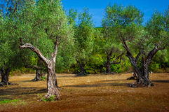 A olive grove. Royalty Free Stock Image