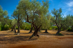 A olive grove. Royalty Free Stock Images