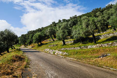 Olive grove and the road. Montenegro olive trees on the slope and the road stock photos