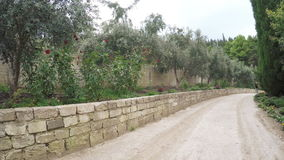 Olive grove with roses stock video footage