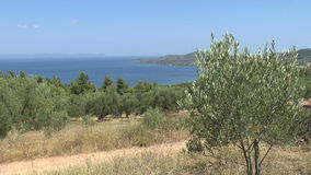 Olive Grove by the sea stock video footage