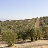An olive grove in Sevilla Royalty Free Stock Photo