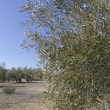 An olive grove in Sevilla. Royalty Free Stock Photos