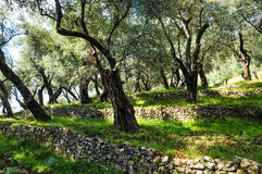 Olive grove on slope. Montenegro shadow olive trees on the slope of a fortified stone Stock Photo