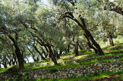 Olive grove on slope. Montenegro shadow olive trees on the slope of a fortified stone royalty free stock photos
