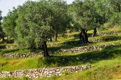Olive grove on slope. Montenegro olive trees on the slope of a fortified stone stock photos