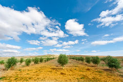 Olive Grove Royalty Free Stock Images