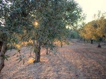 Olive Grove in Spanien sanset lizenzfreie stockfotografie