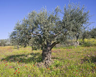 Olive grove in spring. Anciant olive grovewith wild flowers  in the Galilee, Israel Royalty Free Stock Photo
