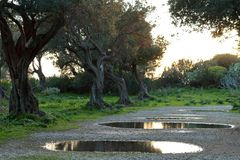 Olive grove in spring Stock Images