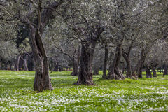Olive grove in the spring Royalty Free Stock Photos