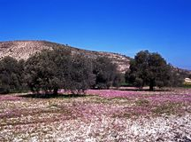 Olive grove in Springtime, Cyprus. Royalty Free Stock Photos