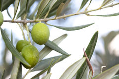 Olive grove. Summer olive grove in france Royalty Free Stock Photography