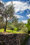 Olive grove in summer Royalty Free Stock Images