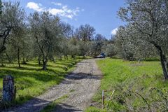 Olive grove. An olive grove by a sunny autumn day in Tuscany, Italy stock image