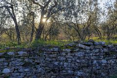 Olive grove. An olive grove by a sunny autumn day in Tuscany, Italy royalty free stock photo