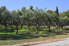 Olive grove in the territory of Porto Carras Grand Resort. Sitho Royalty Free Stock Photography