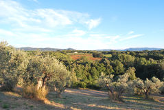 Olive grove in Toscana Stock Images