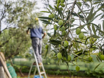 Olive grove. Traditional olive harvest in Italy, using poles and nets Royalty Free Stock Photos