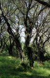 Olive grove. Olive tree in the woods Royalty Free Stock Photography