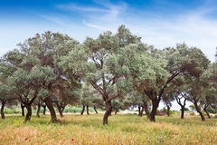Olive grove, Turkey Royalty Free Stock Photo