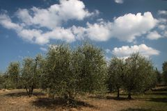 Olive grove in Tuscany Royalty Free Stock Images