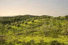 Olive grove in Tuscany at sunset Royalty Free Stock Images