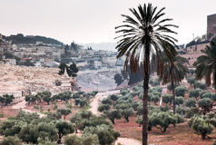 Olive grove in the valley of Kidron.  It's a nasty day. Royalty Free Stock Photo