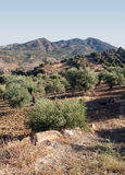 Olive grove vertically Royalty Free Stock Photography