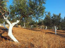 Olive Grove With Whitewashed Tree Trunks. A small olive grove garden in a rural area, with the olive tree trunks freshly whitewashed for insect protection Royalty Free Stock Photography