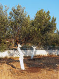 Olive Grove With Whitewashed Tree Trunks. A small olive grove garden in a rural area, with the olive tree trunks freshly whitewashed for insect protection Royalty Free Stock Image
