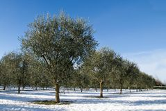 Olive grove in winter Royalty Free Stock Image