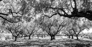 Olive Groves Immagine Stock