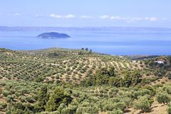 Olive groves on the Aegean coast. Royalty Free Stock Image