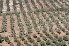 Olive groves Royalty Free Stock Photos