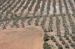 Olive groves Royalty Free Stock Image