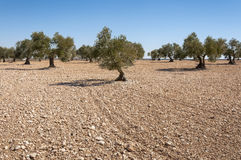 Olive groves in an agricultural landscape in Toledo. Province, Spain Royalty Free Stock Photo