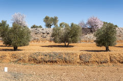 Olive groves and almond trees Stock Images