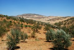 Olive groves, Andalusia, Spain. Olive groves with wheat fields to rear, Between Antequera and Alora, Costa del Sol, Malaga Province, Andalusia, Spain, Western Stock Photography
