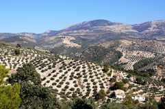 Olive groves, Andalusia, Spain. royalty free stock photos