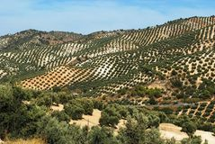 Olive groves, Andalusia. Royalty Free Stock Photo