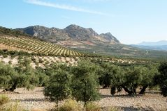 Olive groves, Andalusia. View across olive groves with mountains to the rear, Between Iznajar and Archidona, Malaga Province, Andalusia, Spain, Western Europe Royalty Free Stock Images