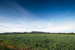 Olive groves and barley fields Stock Images