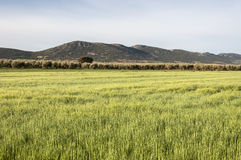 Olive groves and barley fields Stock Photo