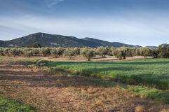 Olive groves and barley fields Royalty Free Stock Photography