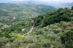Olive groves on hills Stock Photography