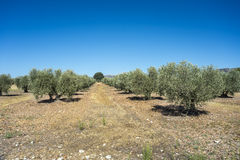 Olive groves in La Mancha Royalty Free Stock Photos